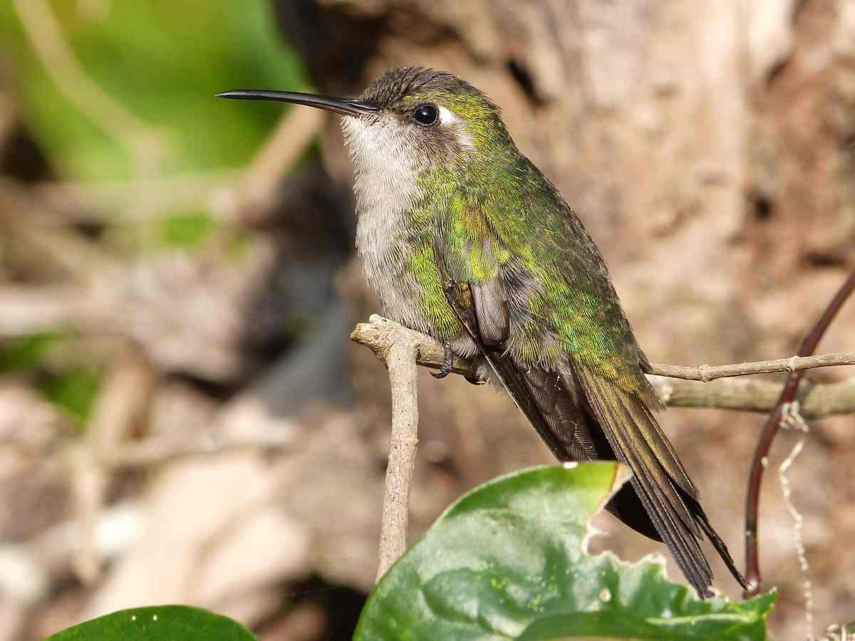 Cuban Emerald Hummingbird, Abaco Bahamas (Keith Salvesen / Rolling Harbour)
