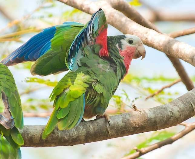 Abaco Parrot, Bahamas (Tom Sheley)