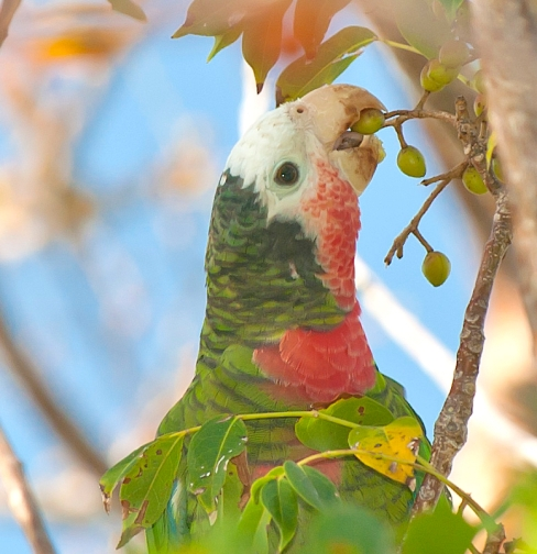 Abaco Parrot, Bahamas (Tom Sheley)