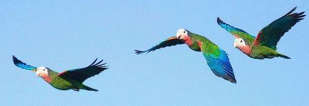 Abaco Parrot, Bahamas (Erik Gauger)