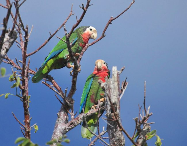 Abaco Parrots, Bahamas (Peter Mantle)