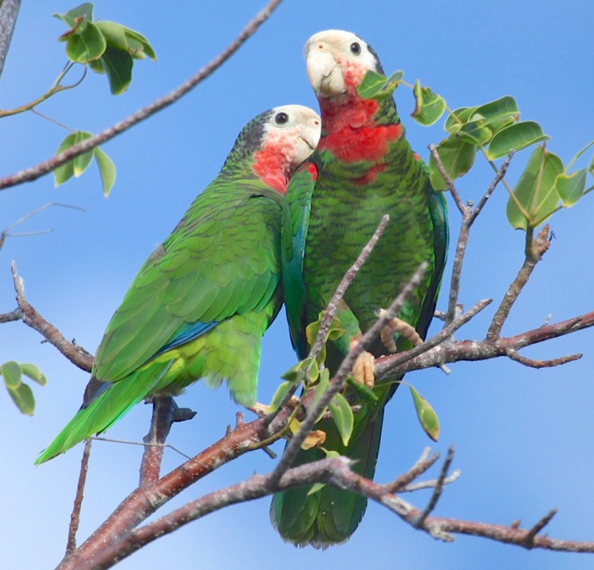 Abaco Parrots Bahamas (Peter Mantle)