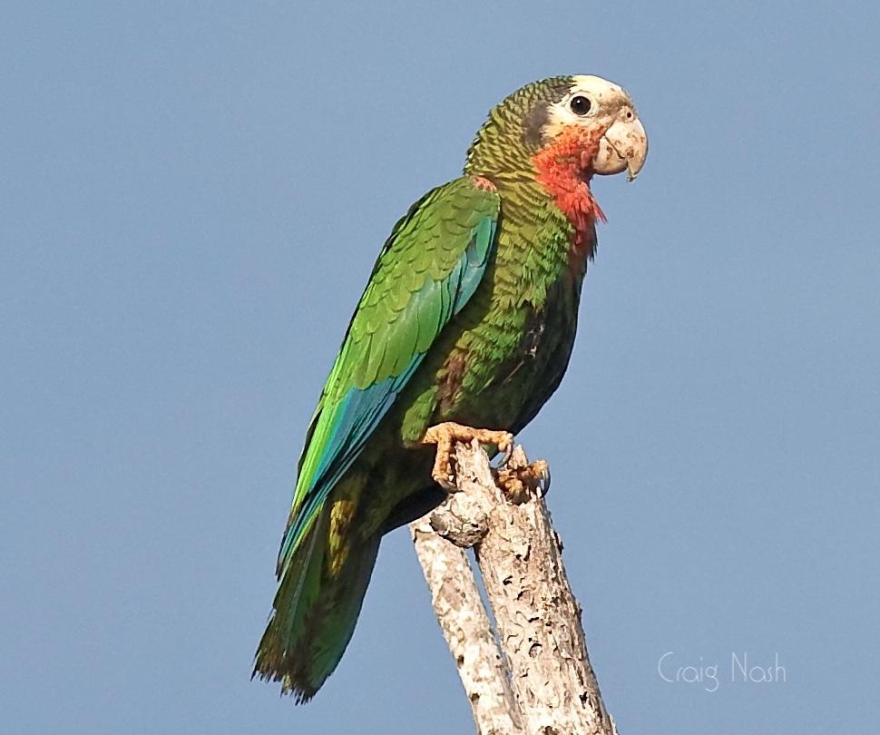Abaco Parrot (Craig Nash)