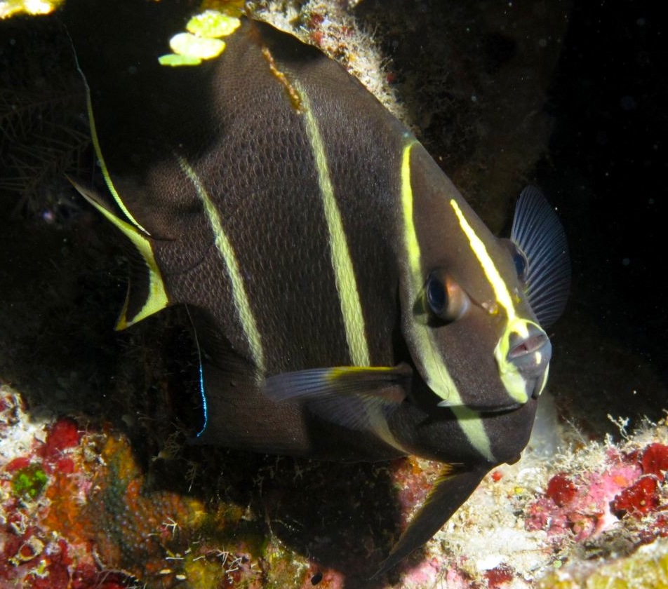 French Angelfish juv, Grand Bahama (Melinda Riger/ G B Scuba)
