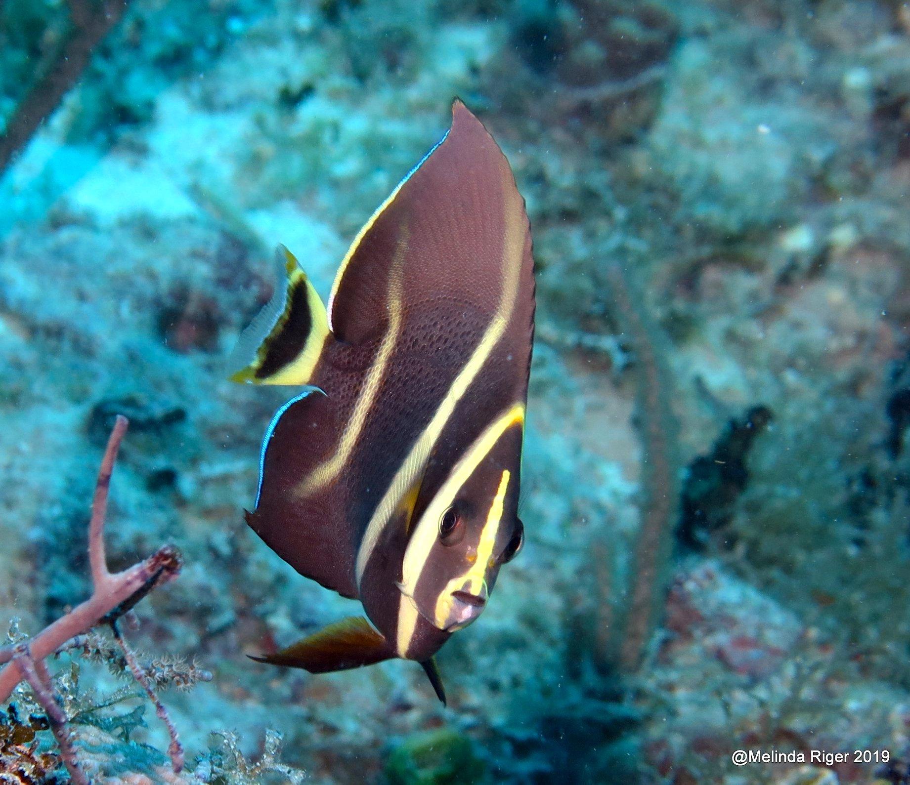 French Angelfish, Grand Bahama (Melinda Riger/ G B Scuba)