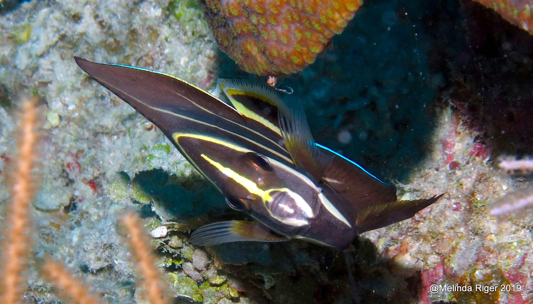 French Angelfish juv, Grand Bahama (Melinda Riger/ G B Scuba)