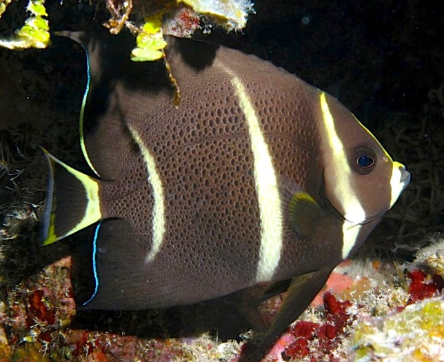 French Angelfish, Grand Bahama (Melinda Riger/ G B Scuba)