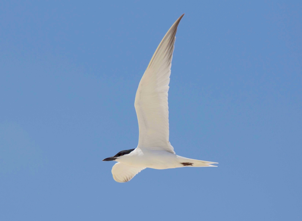 Gull-billed Tern in flight, Abaco Bahamas (Alex Hughes)