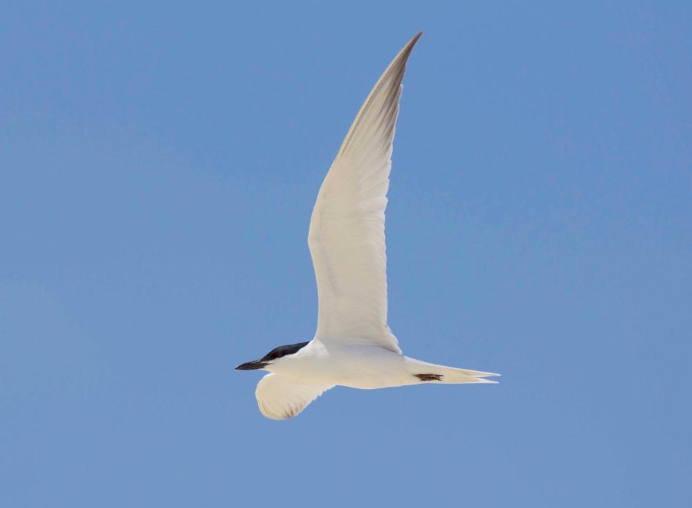 Gull-billed Tern in flight, Abaco Bahamas (Alex Hughes)
