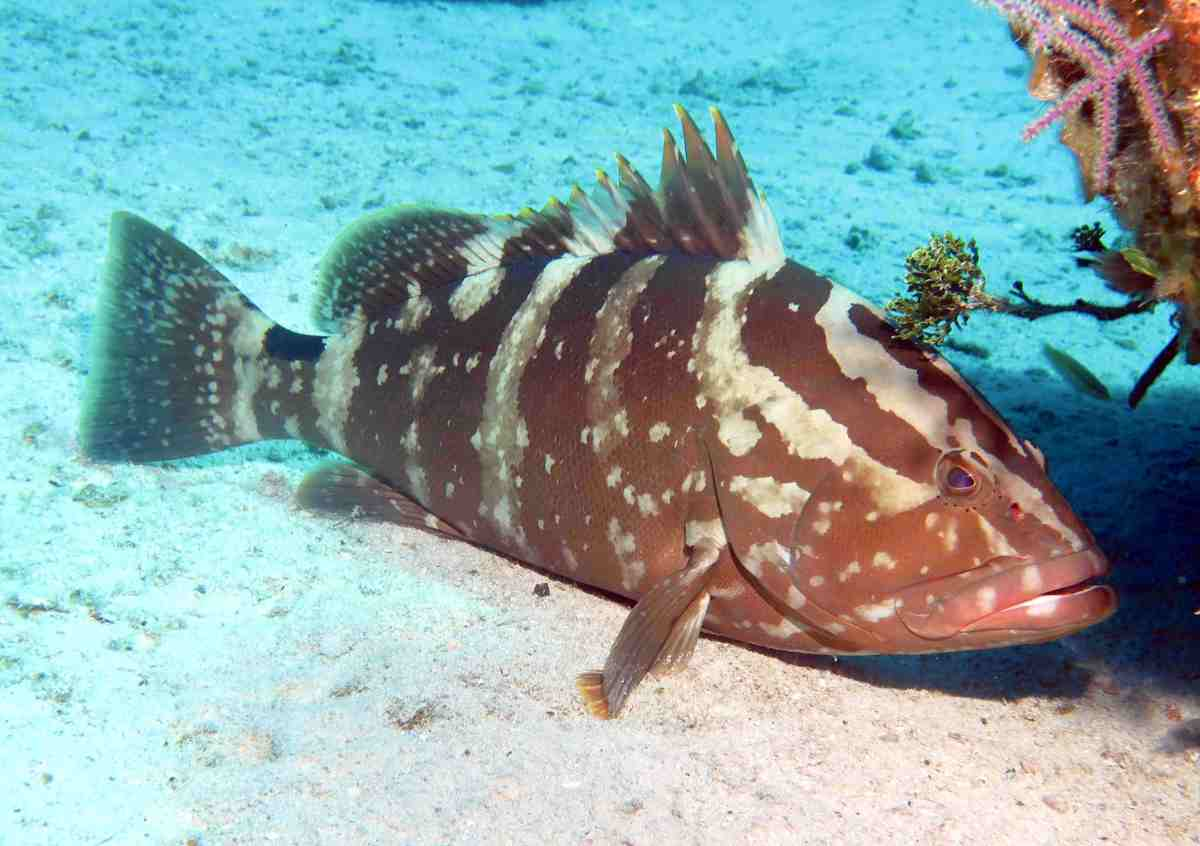 Nassau Grouper, Grand Bahama (Melinda Riger)