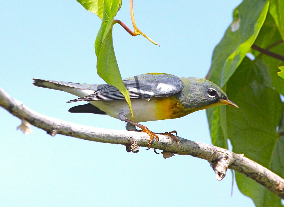 Northern Parula Warbler, Abaco Bahamas (Bruce Hallett)
