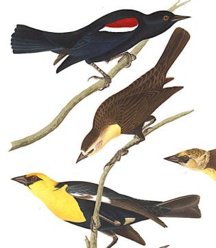Audubon's Blackbirds
