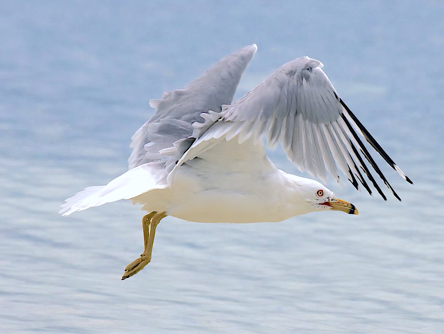 Ring-billed Gull, Abaco Bahamas (Nina Henry)