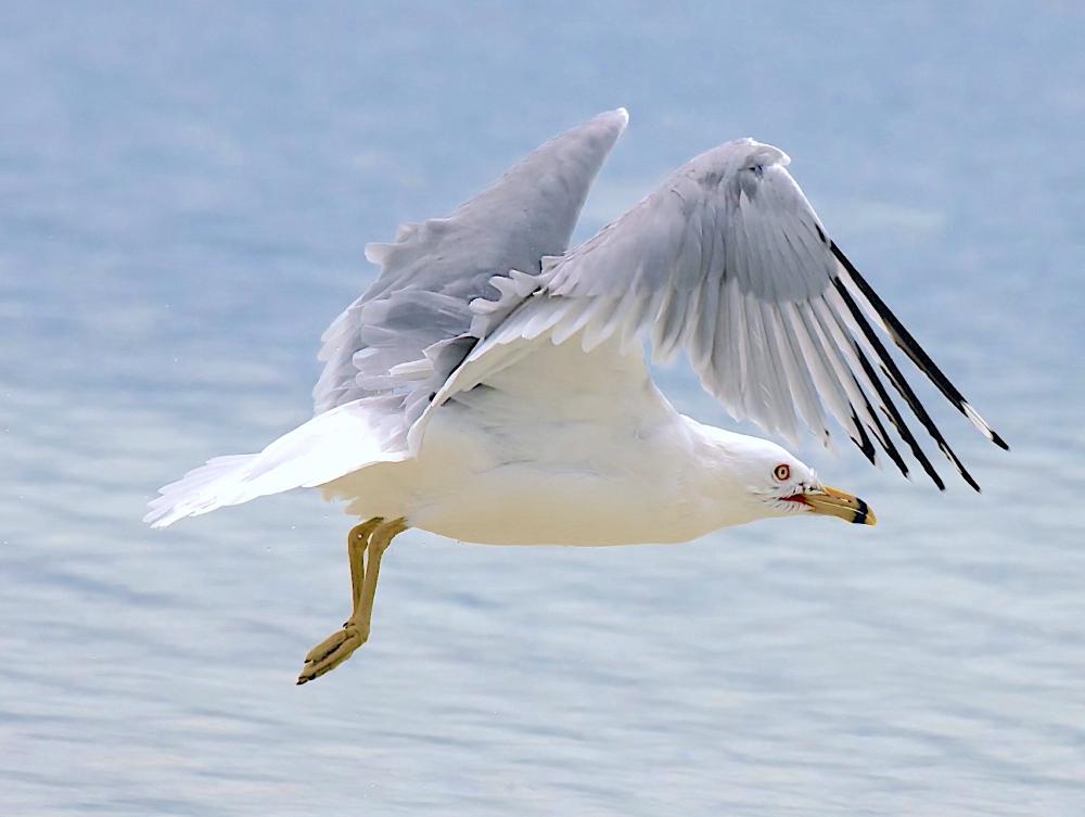 Ring-billed Gull, Abaco Bahamas (Nina Henry)