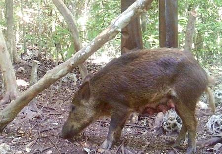 Wild Pig or Hog (f) on Abaco Bahamas (Dana Lowe)