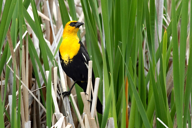 Yellow-headed Blackbird (Alan Vernon / Wiki)