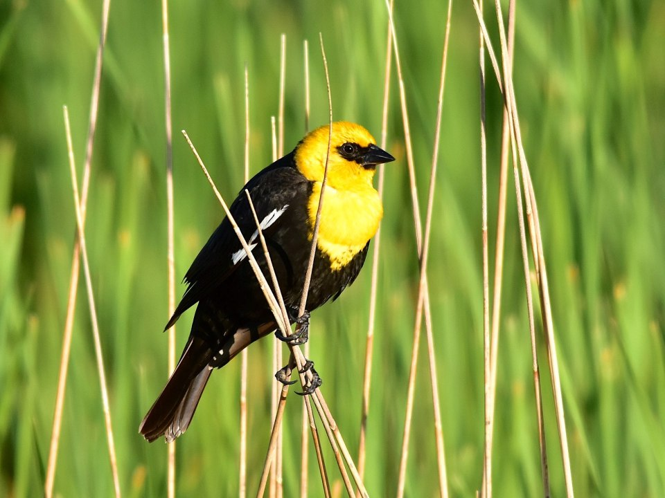 Yellow-headed Blackbird (Tom Kerner / Wiki)