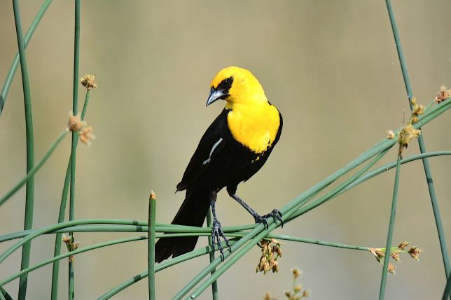 Yellow-headed Blackbird (R. Welker / Wiki)