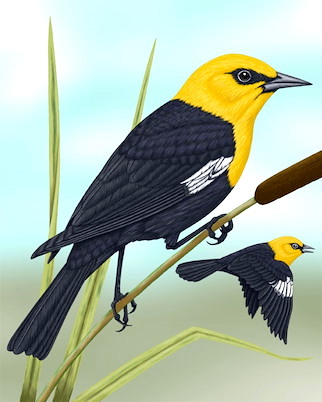 Yellow-headed Blackbird (Sibley)