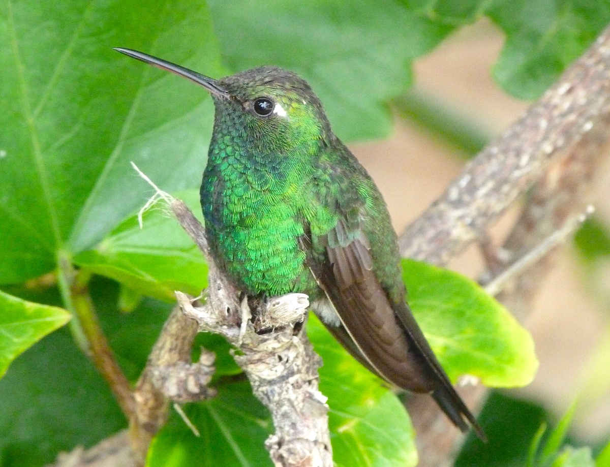 CUBAN EMERALD (F) ABACO BAHAMAS (KEITH SALVESEN / ROLLING HARBOUR)