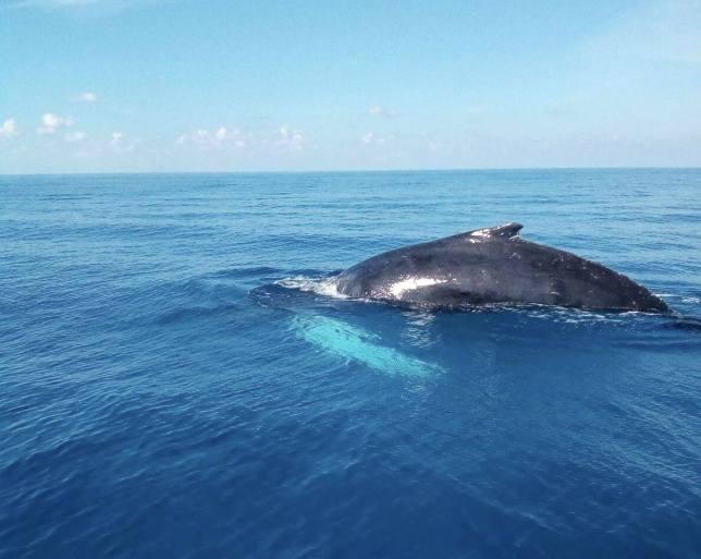 Humpback Whale, Bahamas (BMMRO)