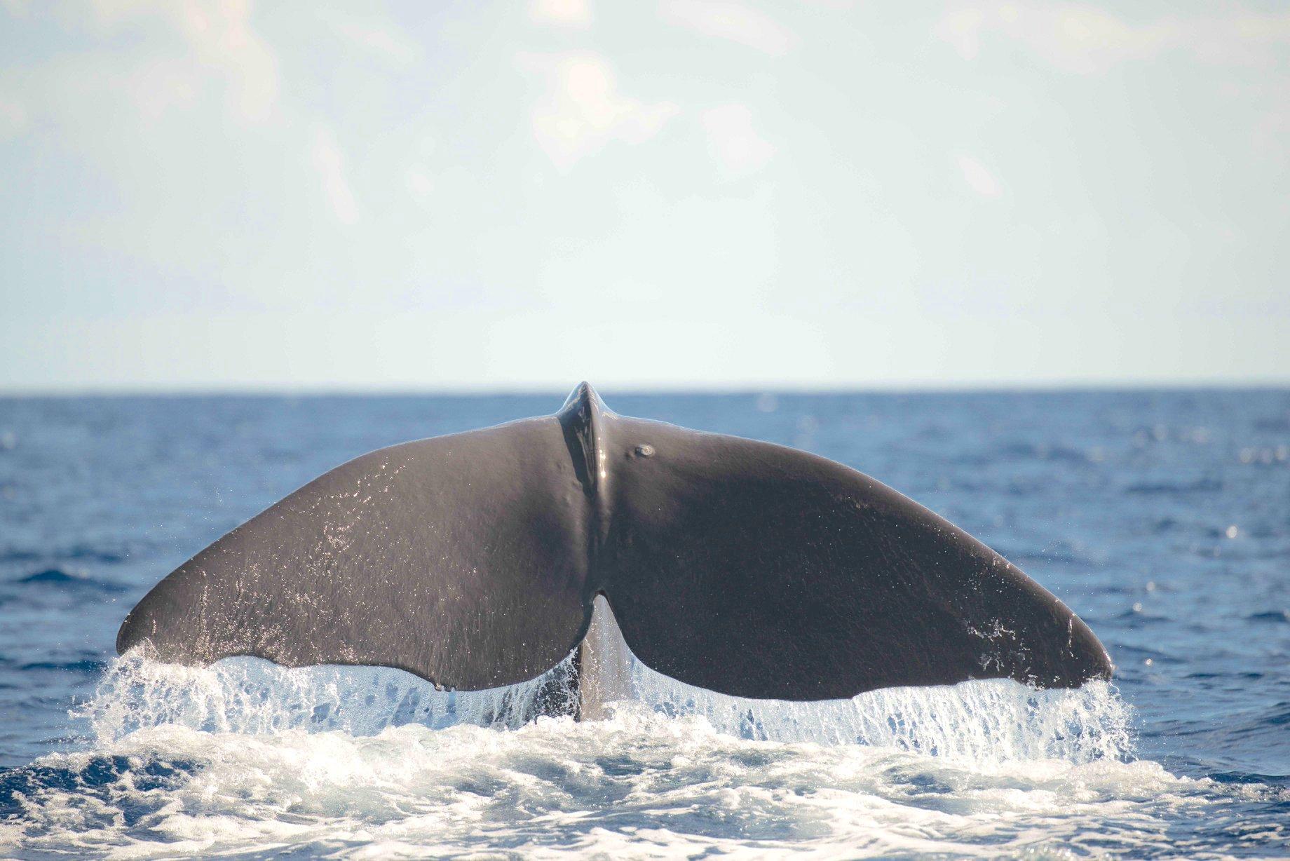 Sperm Whale tailing, Abaco Bahamas (BMMRO)