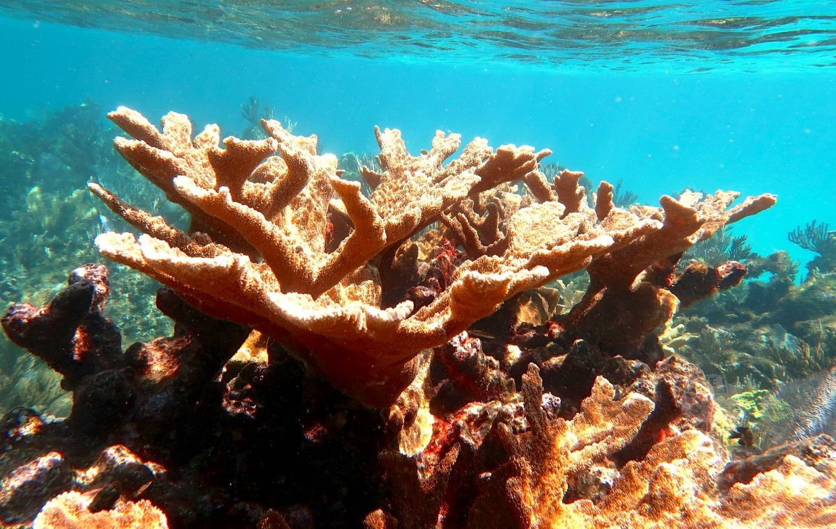 Elkhorn Coral, Abaco Bahamas (Melinda Rogers / Dive Abaco)