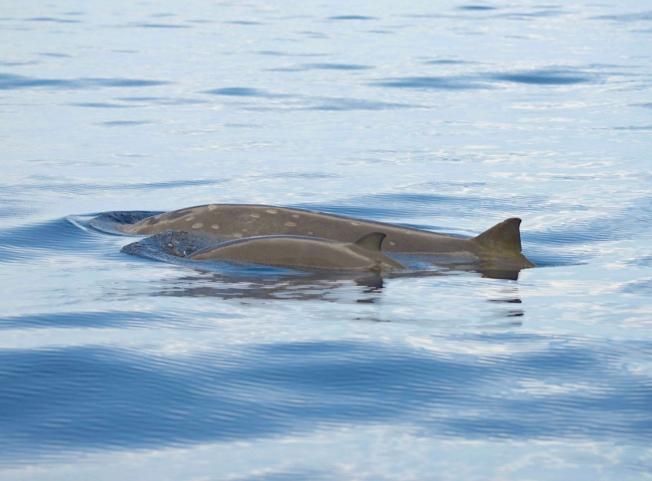 Blainville's Beaked Whale, Abaco Bahamas (BMMRO)