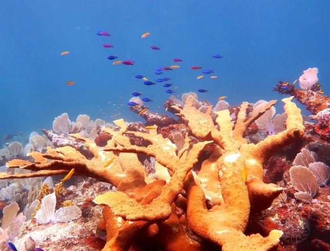 Elkhorn Coral, Abaco Bahamas (Melinda Rogers / Dive Abaco)