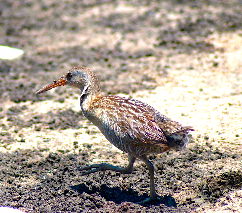 Clapper Rail running, Abaco Bahamas (Sandy Walker)