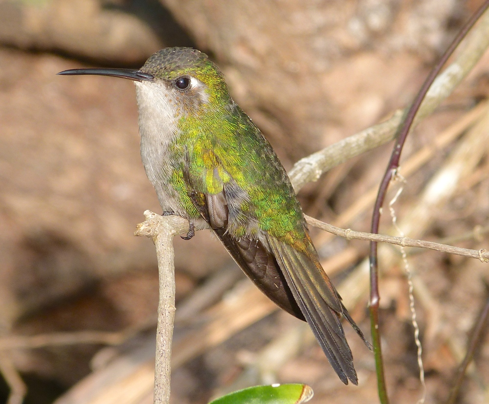 CUBAN EMERALD (M) ABACO BAHAMAS (KEITH SALVESEN / ROLLING HARBOUR)