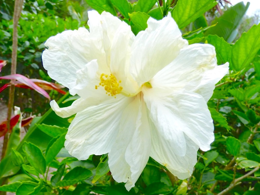 White Hibiscus Abaco Bahamas (Keith Salvesen)