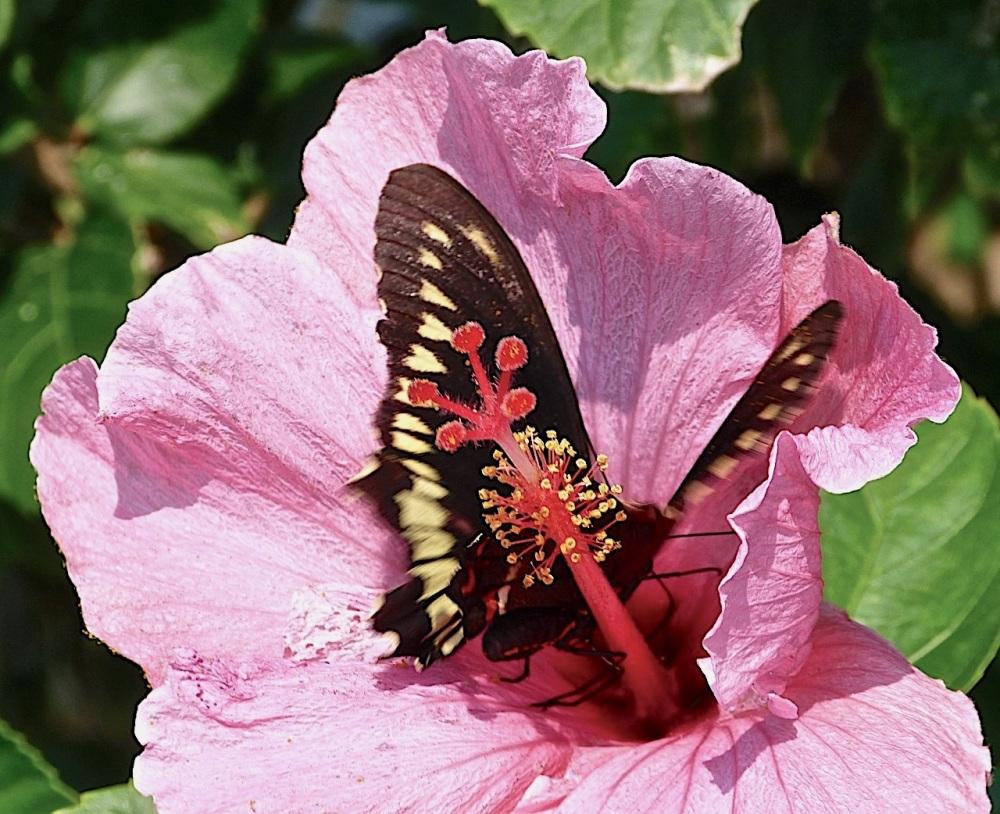Pink Hibiscus / Polydamus Swallowtail Abaco Bahamas (Keith Salvesen)