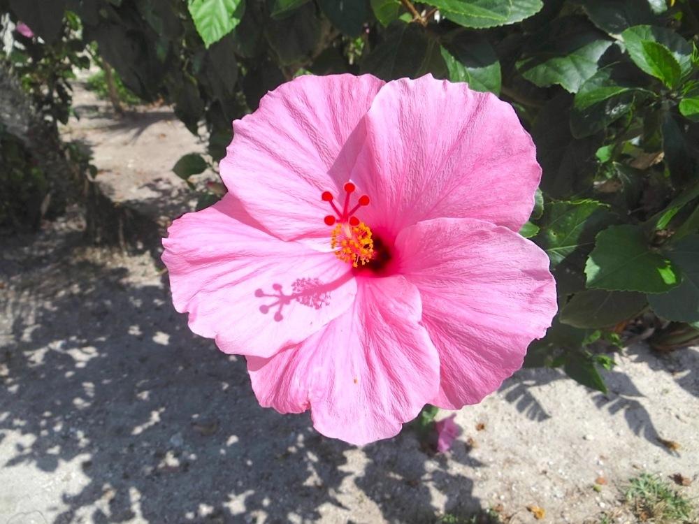 Pink Hibiscus Abaco Bahamas (Keith Salvesen)