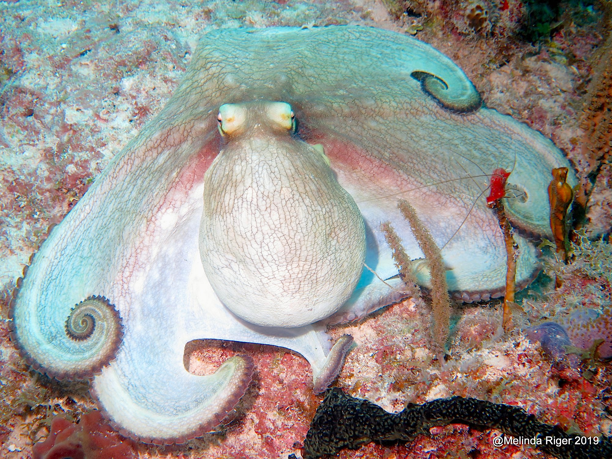 Octopus on the coral reef, Bahamas (Melinda Riger / GB Scuba)