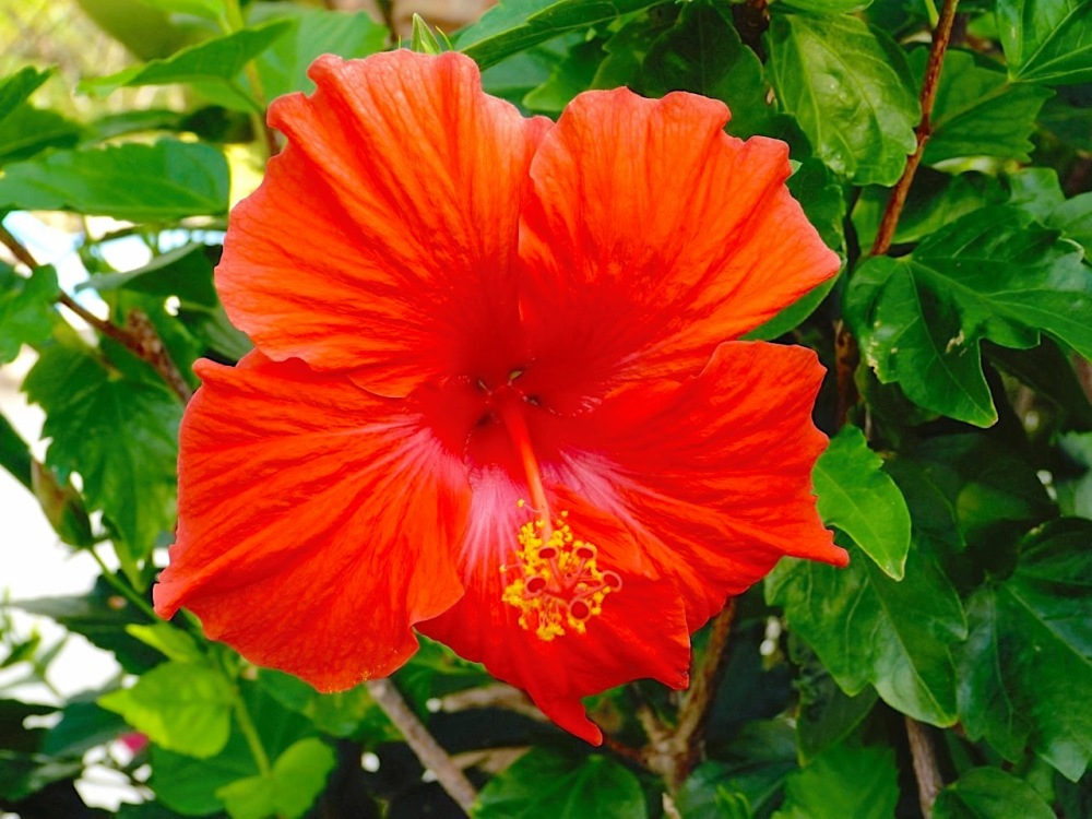 Red Hibiscus Abaco Bahamas (Keith Salvesen)