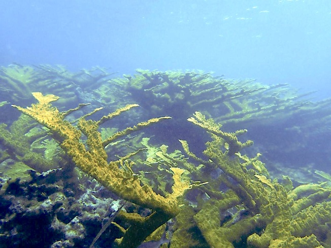Elkhorn Coral, Pelican Cays, Abaco Bahamas (Friends of the Environment)
