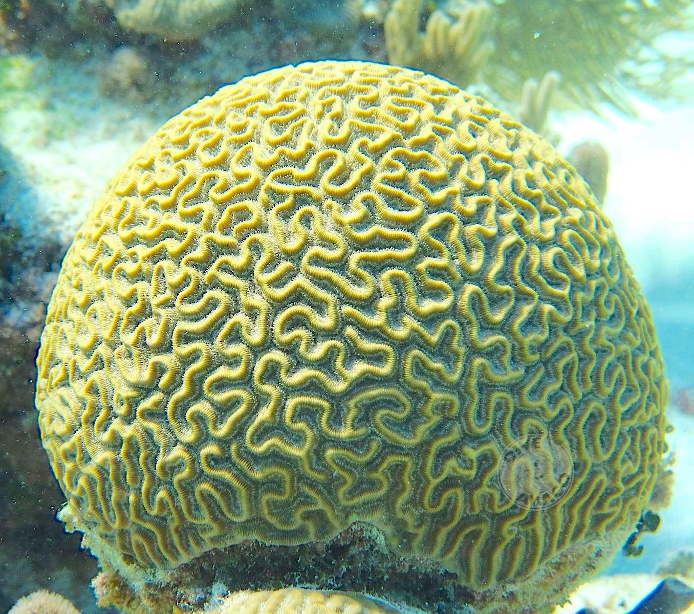 BRAIN CORAL Abaco Bahamas (Melinda Rogers / Dive Abaco)