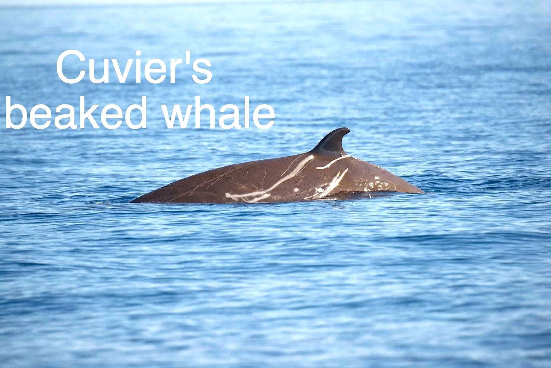 Cuvier's Beaked Whale Bahamas (BMMRO / Charlotte Dunn)