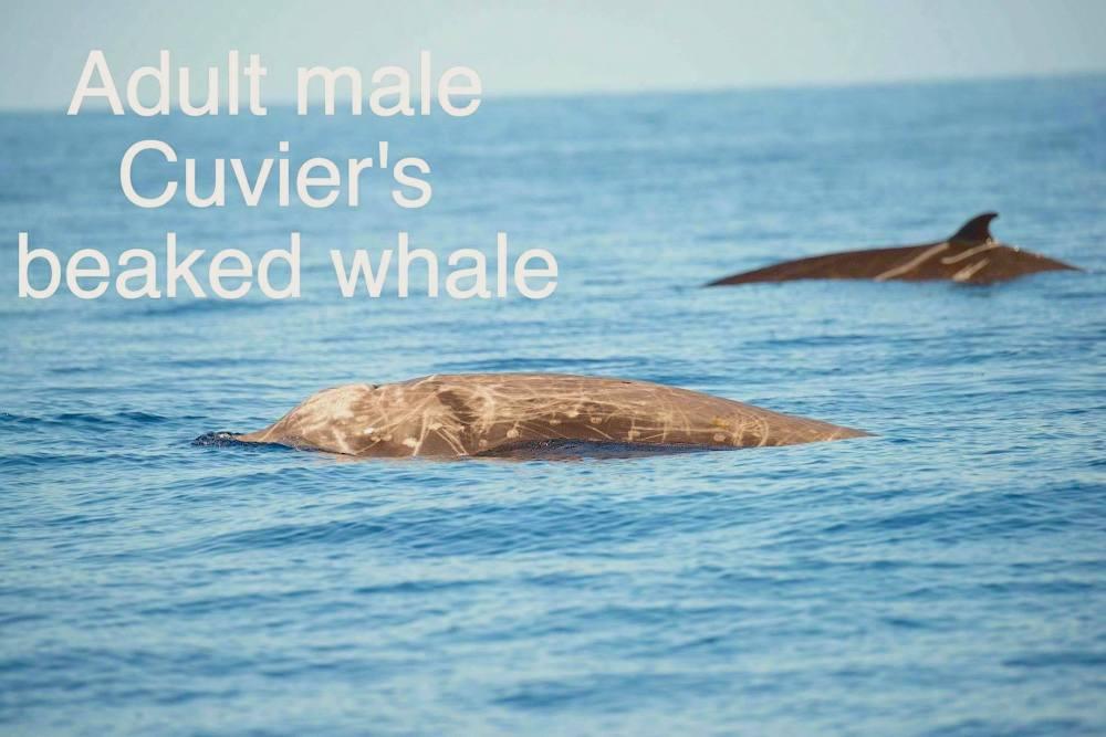 Cuvier's Beaked Whale, Bahamas (BMMRO / Charlotte Dunn)