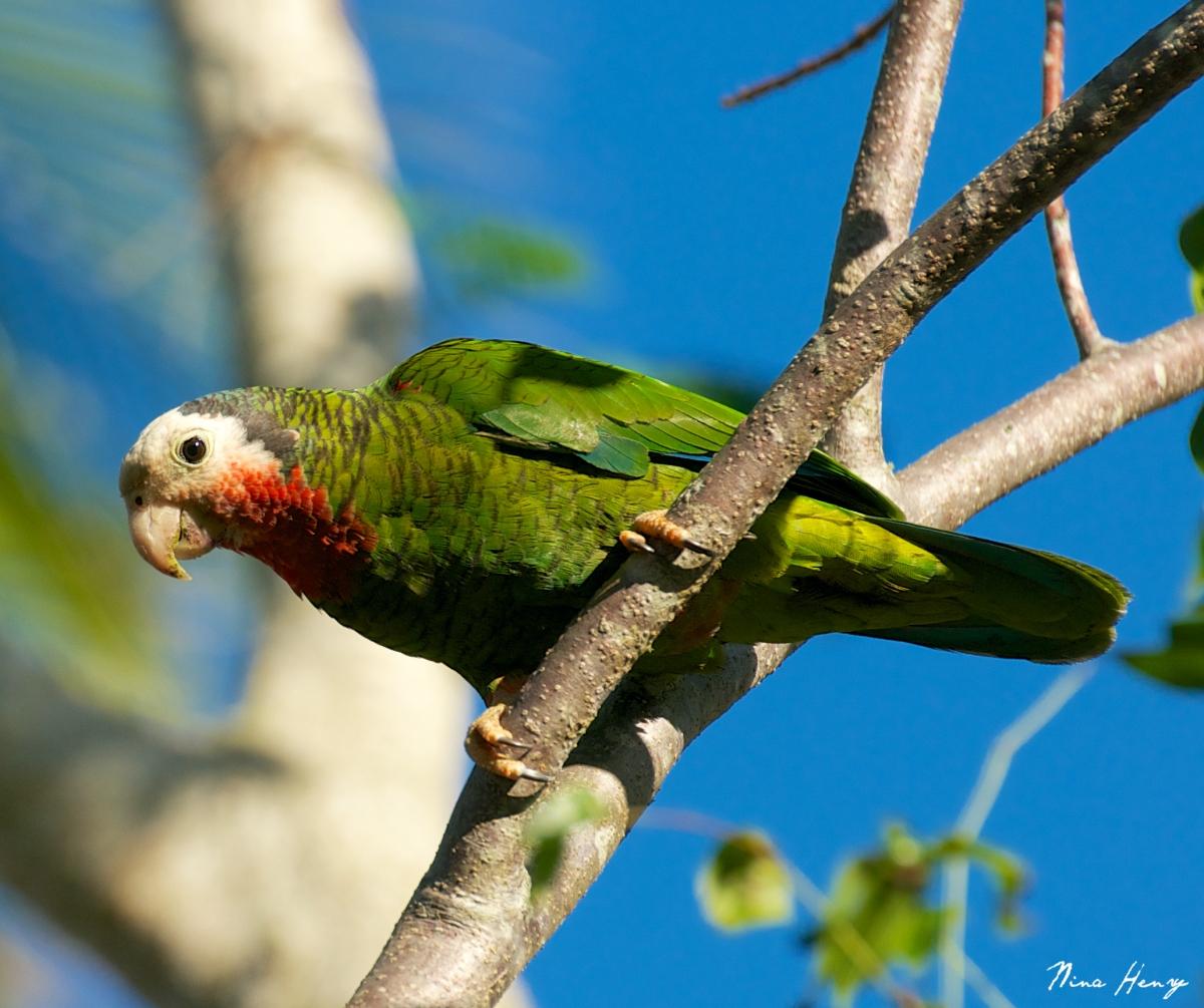 Abaco Parrot, Bahamas (Nina Henry)