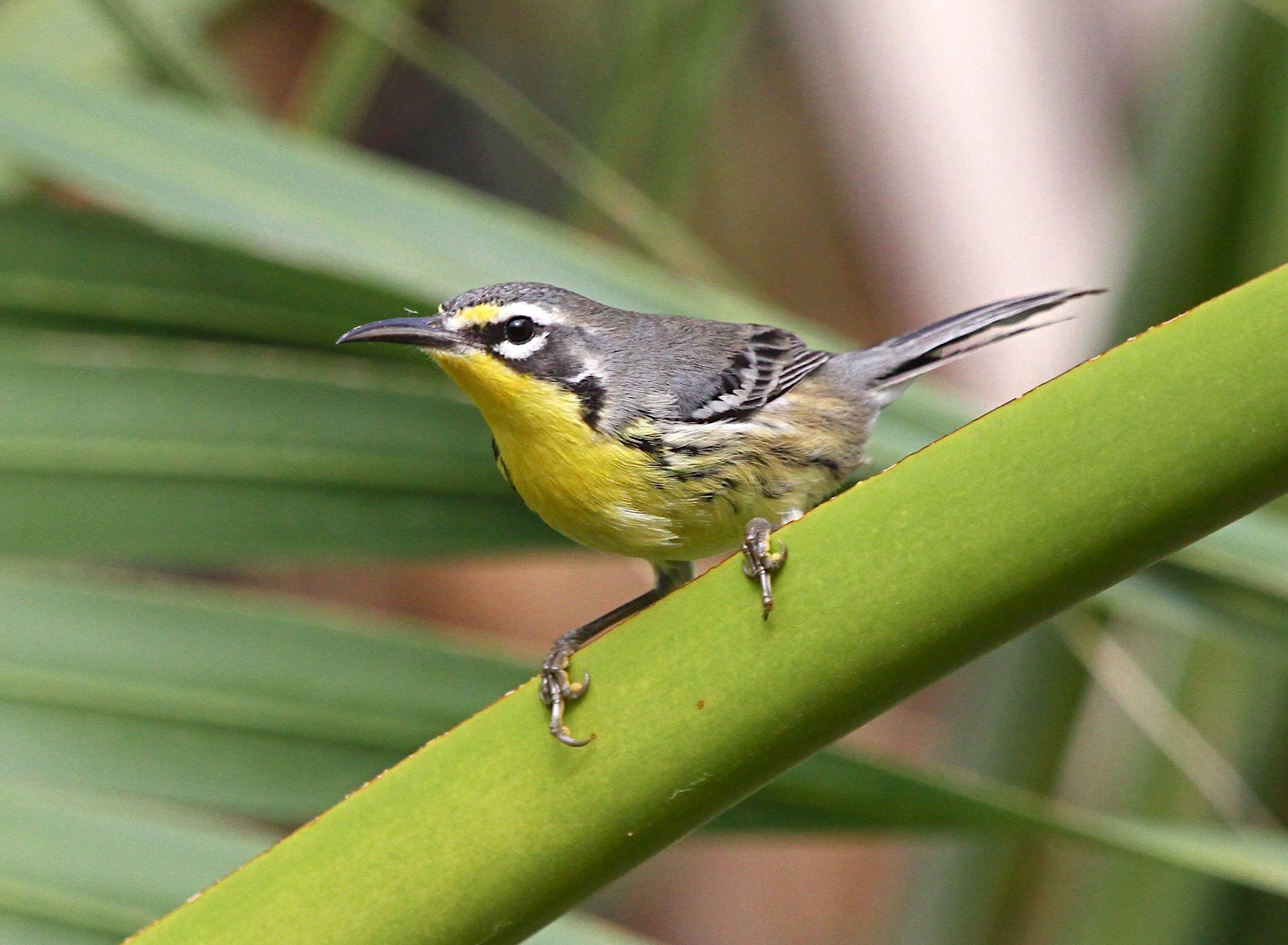 Bahama Warbler, Abaco Bahamas (Bruce Hallett)