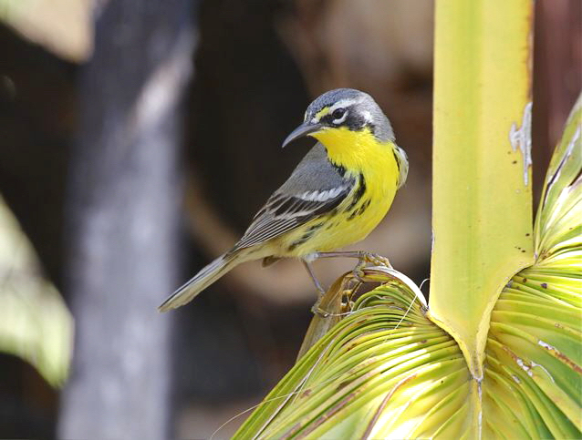Bahama Warbler Abaco (Woody Bracey)