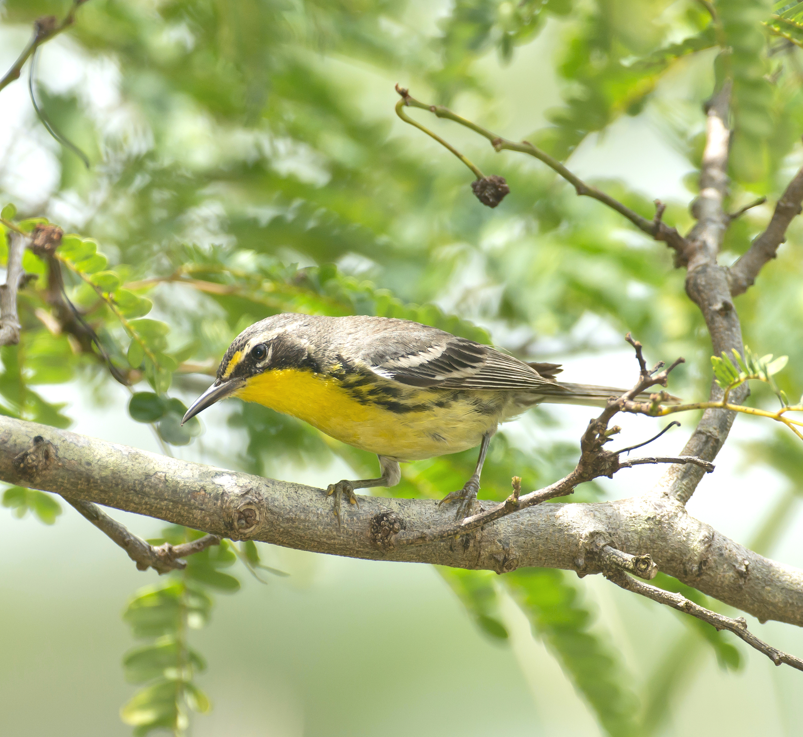 Bahama Warbler, Abaco Bahamas (Tom Sheley)