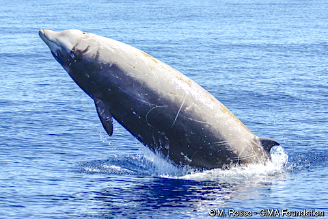 Cuvier's Beaked Whale leap (M.Rosso GIMA - IUCN)