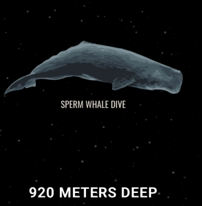 Sperm whale dive depth (Neal)