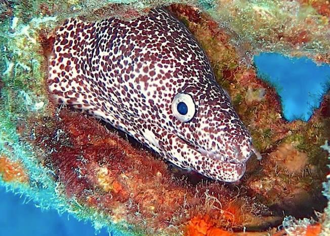 Spotted Moray Eel, Bahamas (Melinda Riger / G B Scuba)