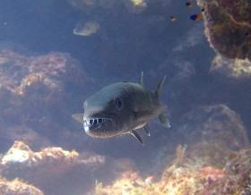 Barracuda, Abaco Bahamas (Melinda Rogers / Dive Abaco)
