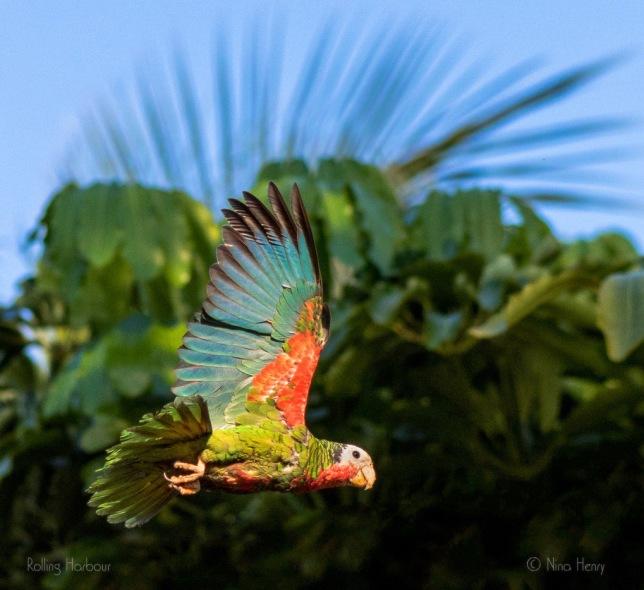 Abaco (Cuban) Parrot, Bahamas (Nina Henry)