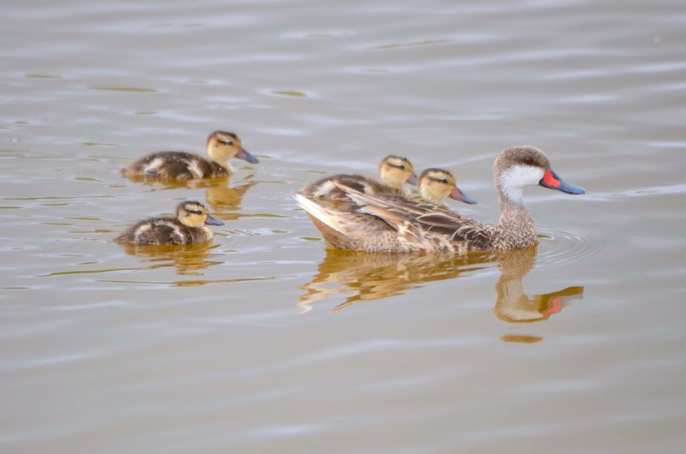 White-cheeked Pintail / Bahama Pintail Ducklings (Charles Skinner)